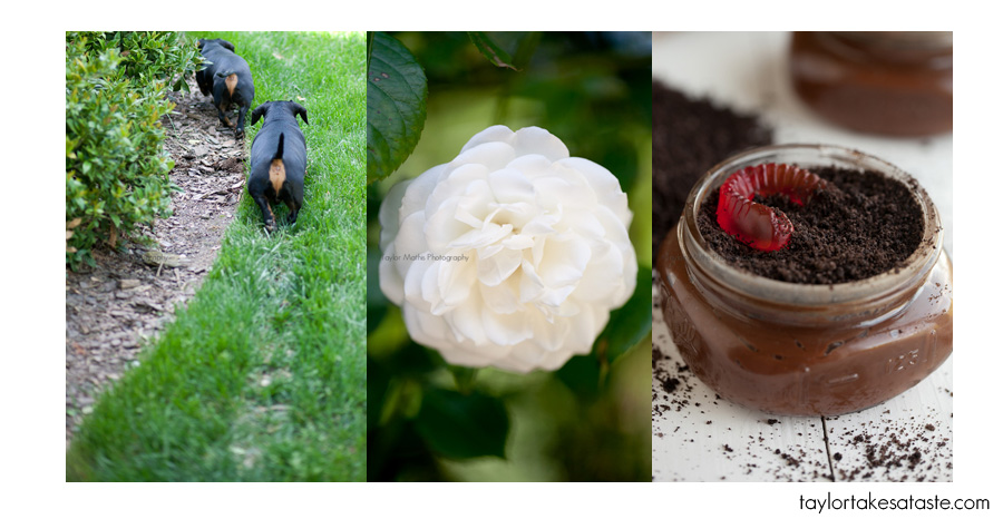 Dachshunds, Roses, and Dirt…