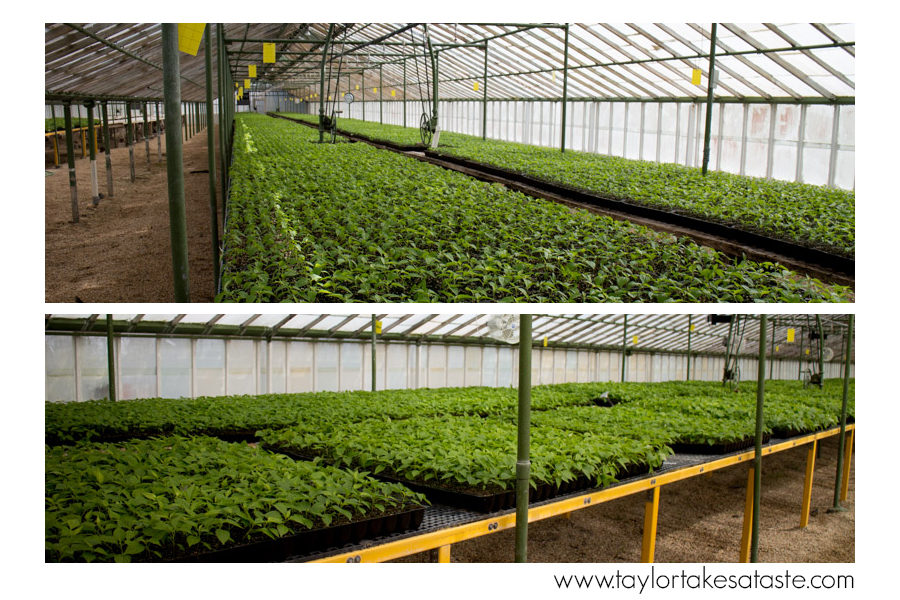 tabasco_greenhouse